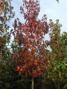 Amberboom In Herfstkleuren