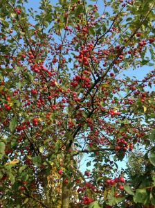 Malus Red Sentinel