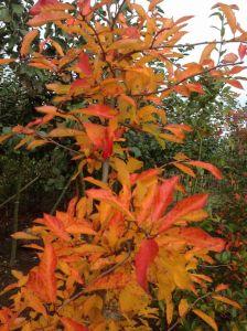 Tupeloboom (Nyssa Sylvatica)